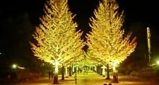 吾妻運動公園でのイチョウの木ライトアップ