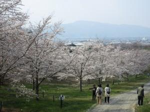 2.紅屋峠千本桜